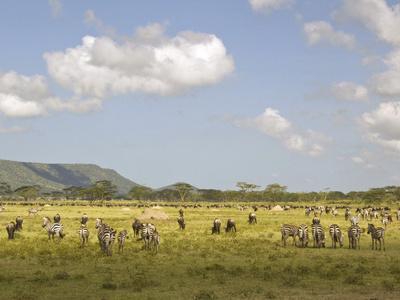 https://imgc.allpostersimages.com/img/posters/zebra-herd-serengeti-national-park-tanzania_u-L-PHAO900.jpg?p=0