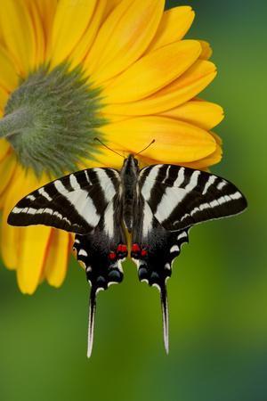https://imgc.allpostersimages.com/img/posters/zebra-swallowtail-north-american-swallowtail-butterfly_u-L-Q12T7B90.jpg?p=0