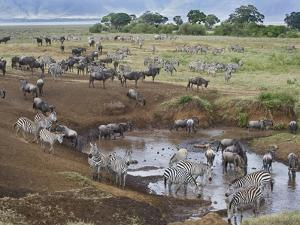 Zebras and Wildebeest at a Waterhole, Tanzania