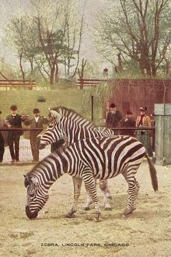 Zebras at Lincoln Park Zoo