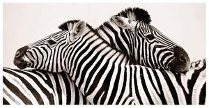 Zebras in love