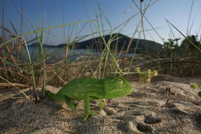 Juvenile African Chameleon (Chamaeleo Africanus) on Ground, Southern the Peloponnese, Greece, May