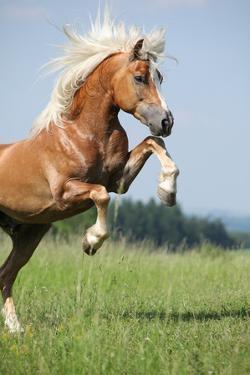 Nice Prancing Haflinger Stallion by Zuzule