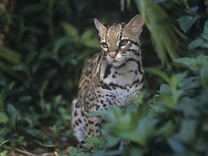 ocelot felis pardalis a threatened species of wild cat southern usa into south americaadam jones