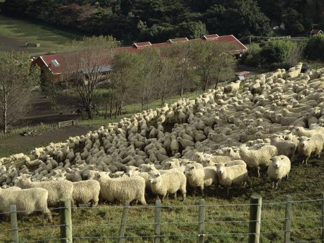 Sheep Penned for Shearing, Tautane Station, North Island, New Zealand Reproduction photographique