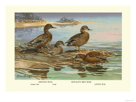 Hawaiian Duck and Oustalet's Gray Duck Reproduction d'art