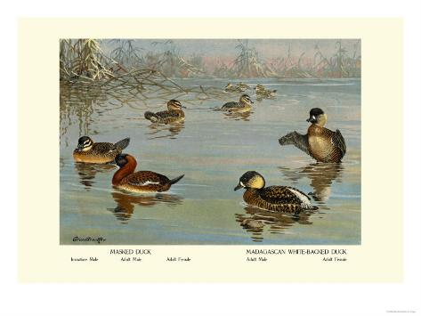 Masked and Madagascan Ducks Reproduction d'art