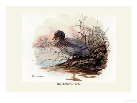 Mountain Duck Reproduction d'art