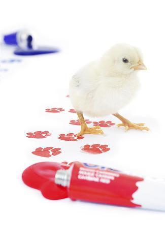 Chicks 003 Reproduction photographique