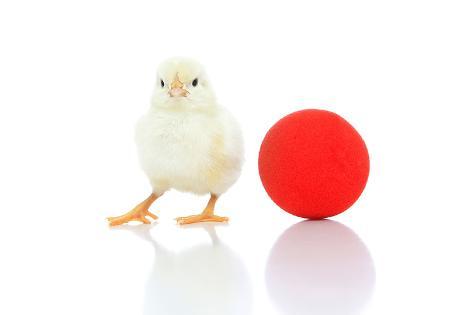Chicks 007 Reproduction photographique