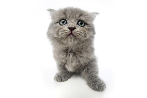 Kittens 004 Reproduction photographique