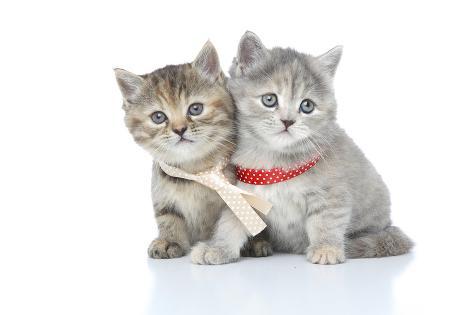 Kittens 015 Reproduction photographique
