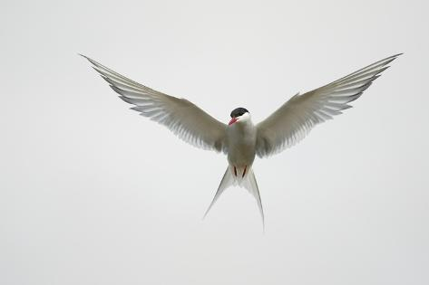 Arctic Tern Hovering in Flight Reproduction photographique