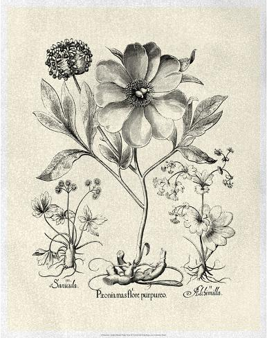 Crackled B&W Besler Peony II Reproduction d'art
