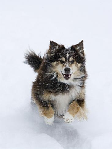 Female Red Tricolor Australian Shepherd Dog Running in Snow, Longmont, Colorado, USA Reproduction photographique