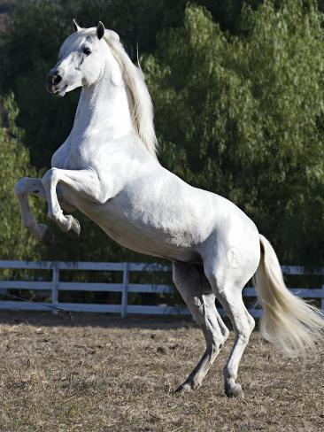 Grey Andalusian Stallion Rearing on Hind Legs, Ojai, California, USA Reproduction photographique