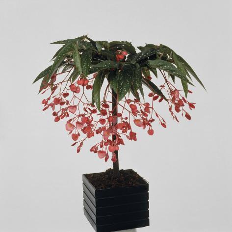 Close-Up of a Begonia Tamaya Plant Reproduction ...
