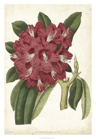 Antique Rhododendron II Reproduction procédé giclée