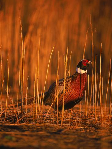 Ringneck Pheasant Reproduction photographique