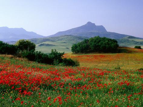 Rolling Hills with Poppies Near Olvera Reproduction photographique