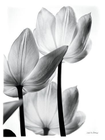 Translucent Tulips III Reproduction d'art