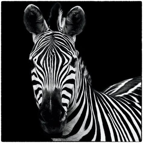 Zebra II Square Reproduction d'art