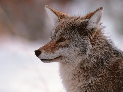 Coyote, Grand Teton National Park, Wyoming, USA Reproduction photographique