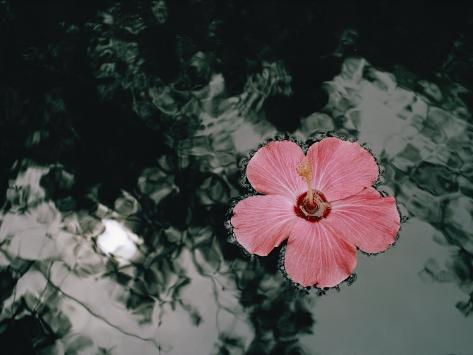 Fleurs d'hibiscus Reproduction photographique