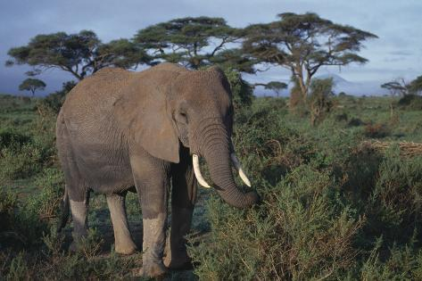 Adult Elephant Foraging for Food Reproduction photographique