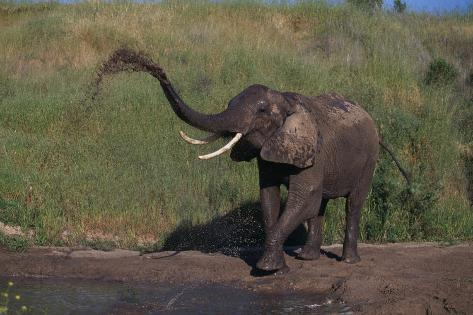 African Elephant Bathing by River Reproduction photographique