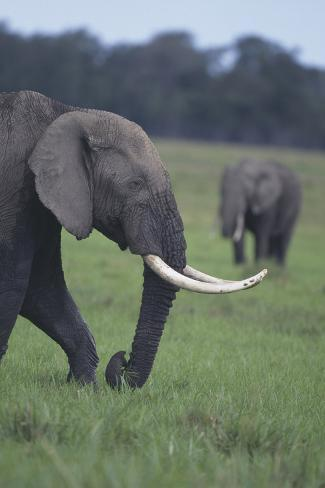 African Elephant Walking in Field Reproduction photographique