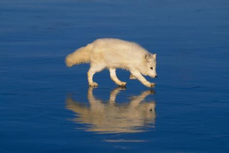Arctic Fox on Ice Reproduction photographique