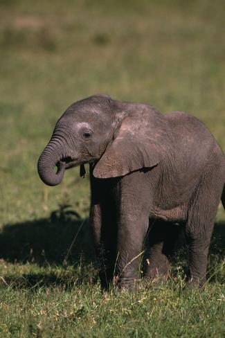 Baby Elephant Curling up its Trunk Reproduction photographique