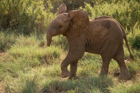 Baby Elephant Flaring its Ears Reproduction photographique