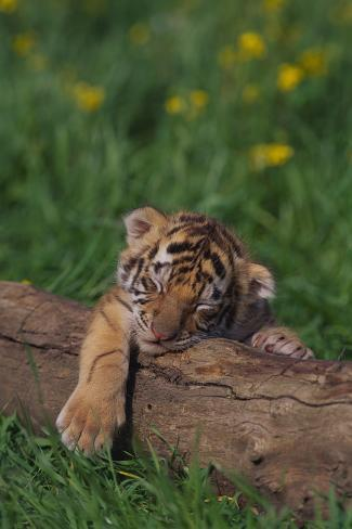 Bengal Tiger Cub Asleep on Fallen Tree Reproduction photographique