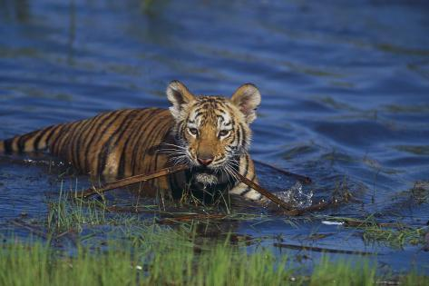 Bengal Tiger Cub in Water Reproduction photographique