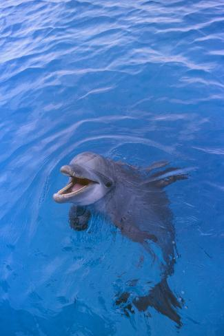 Bottlenosed Dolphin in Water with Mouth Open Reproduction photographique