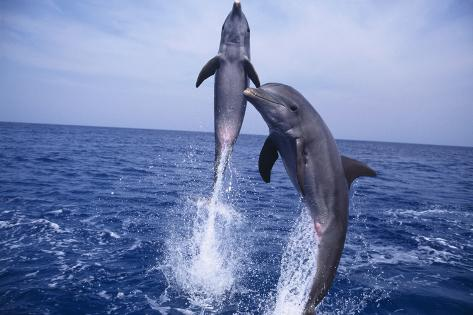 Bottlenosed Dolphins Leaping from Water Reproduction photographique
