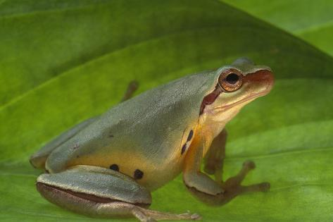 Chinese Tree Frog on Plant Reproduction photographique