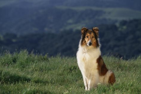 Collie Sitting in Field Reproduction photographique