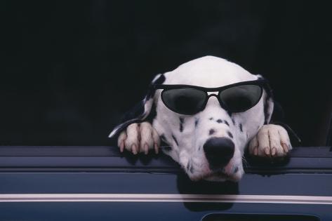 Dalmatian Wearing Sunglasses Reproduction photographique