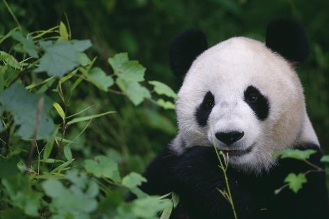 Giant Panda in Forest Reproduction photographique