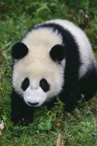 Giant Panda Walking on Forest Floor Reproduction photographique