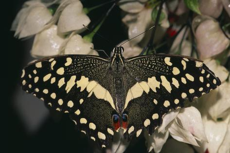 Giant Swallowtail Reproduction photographique