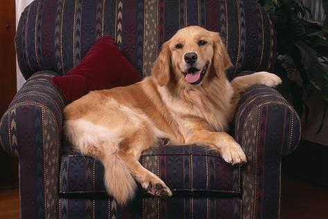 Golden Retriever Sitting in Armchair Reproduction photographique