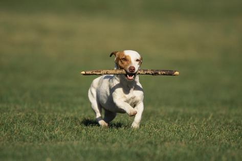 Jack Russell Terrier Running with Stick Reproduction photographique