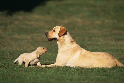 Labrador Mother and Puppy Reproduction photographique