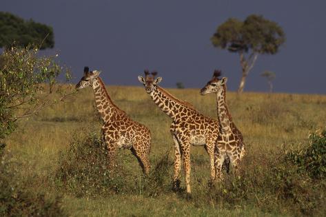 Masai Giraffe Calves Reproduction photographique