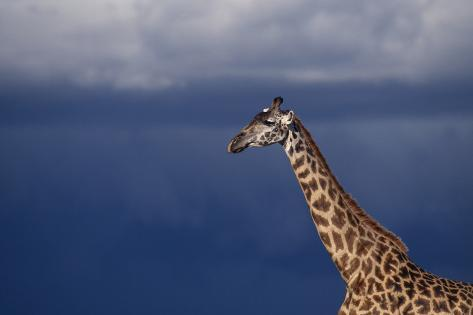 Masai Giraffe Reproduction photographique