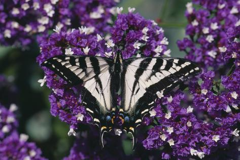 Pale Swallowtail Butterfly Reproduction photographique